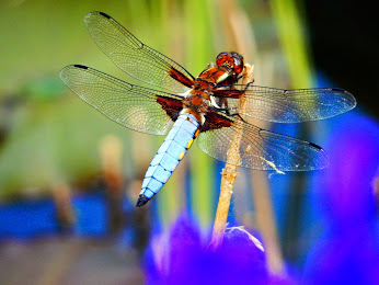 Unsere Libelle